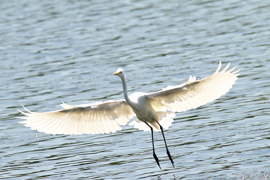 その他の鳥さんの飛翔シーン_1