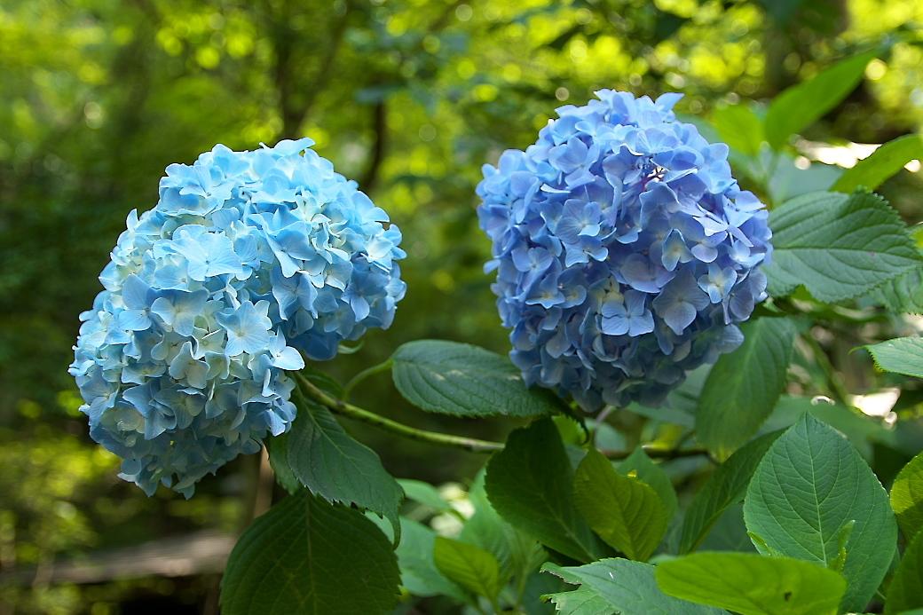 ごく普通の紫陽花がほとんど_2