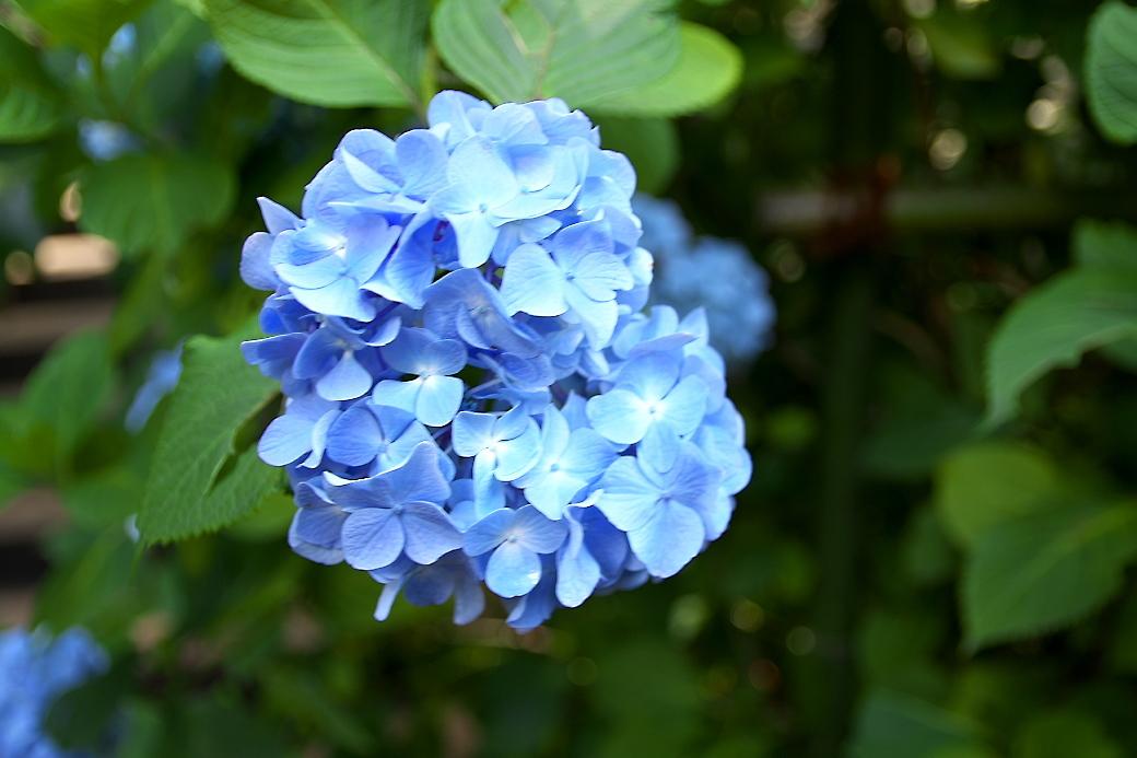 ごく普通の紫陽花がほとんど_3
