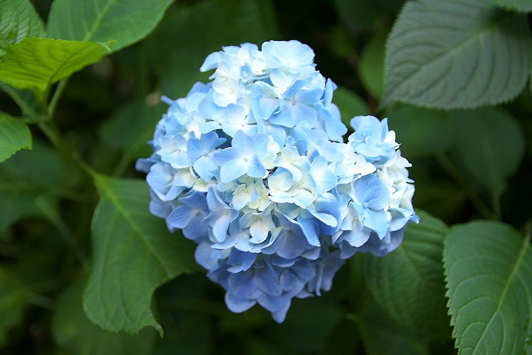 ごく普通の紫陽花がほとんど_4