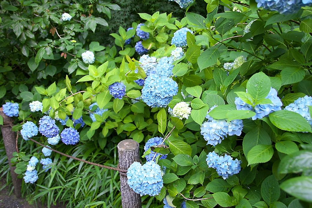 ごく普通の紫陽花がほとんど_6