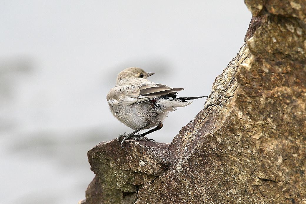ハクセキレイの若鳥_2