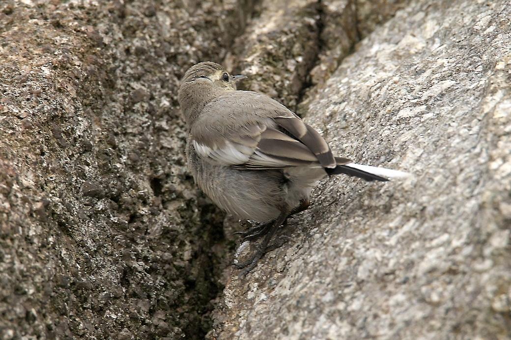 ハクセキレイの若鳥_3
