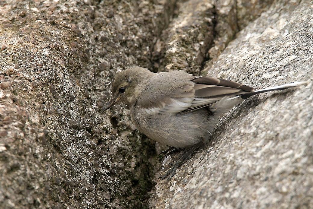ハクセキレイの若鳥_4
