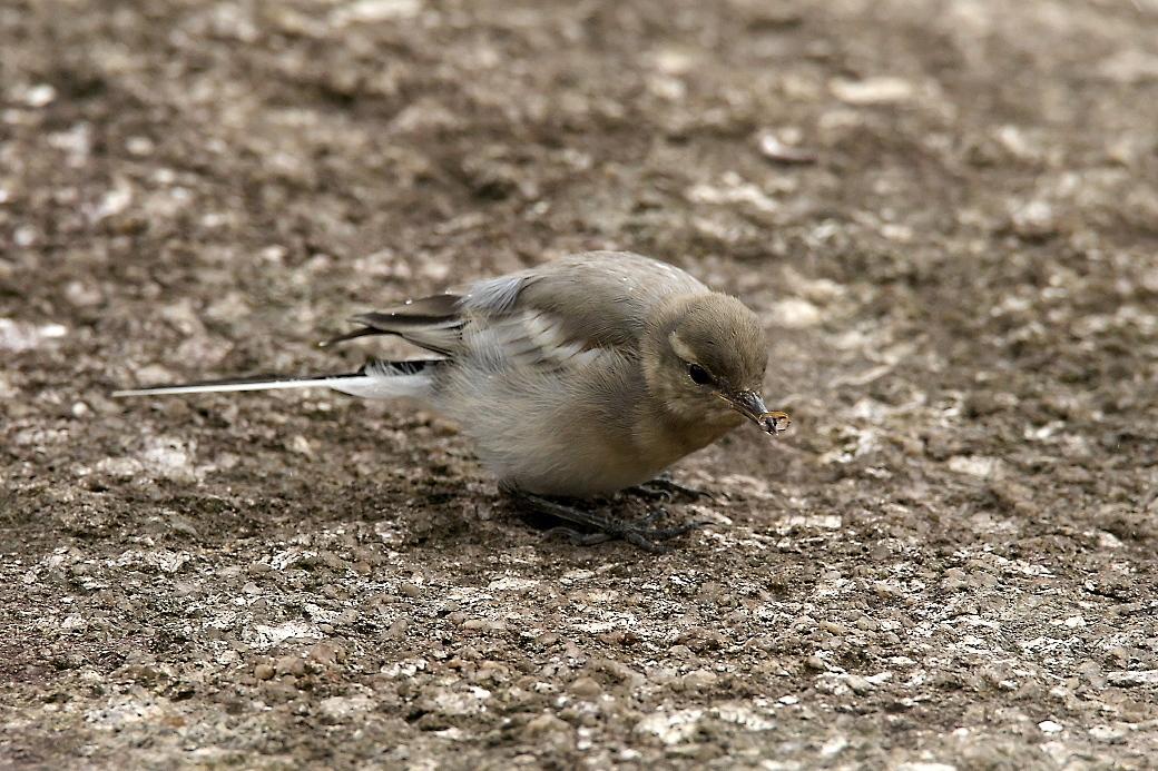 ハクセキレイの若鳥_6