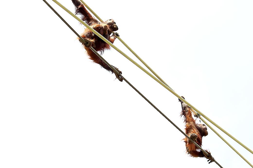 オランウータン(4)_1