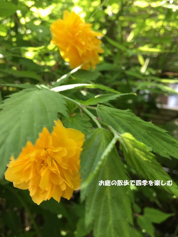 yamabuki9_20190420085448bff.jpg