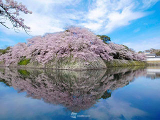 彦根城のサクラ