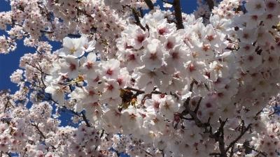 絶好の花見日和になった土曜日の琵琶湖(YouTubeムービー)