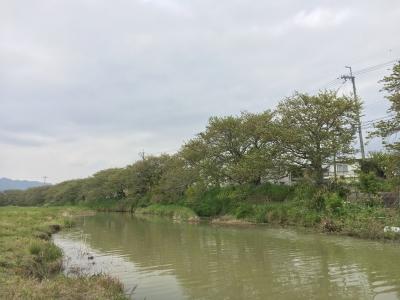すっかり緑になった真野川のサクラ並木(4月23日13時頃)