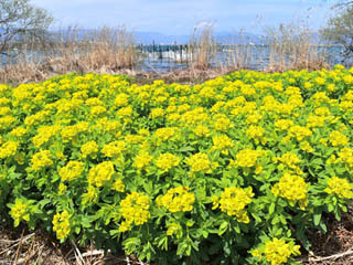 黄色く色付いた新旭湖岸のノウルシ