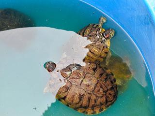 なごや生物多様性センターが飼い殺しにしてるミドリガメ