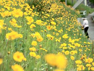 兵庫県三田市のフラワータウンに咲き誇るオオキンケイギク
