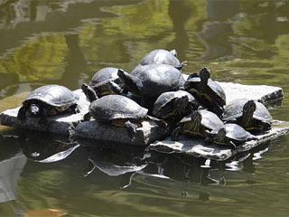 山口県光市の普賢寺の池で甲羅干しするミドリガメ