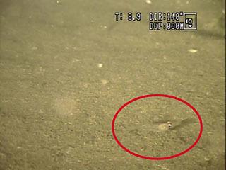 琵琶湖底で生息が確認されたスジエビ