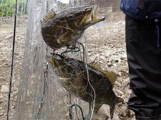 昨年の駆除で捕獲されたスモールマウスバス