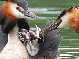 ヒナに小魚を与えるカンムリカイツブリの親鳥