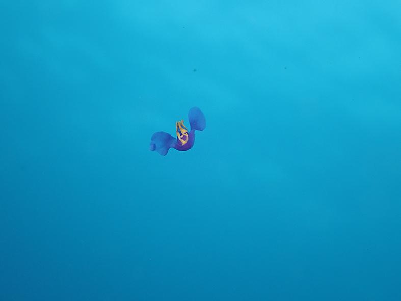 6100063_ムラサキウミコチョウ_遊泳