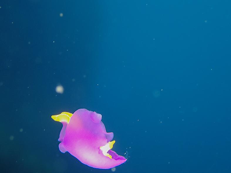 6100067_ムラサキウミコチョウ_遊泳