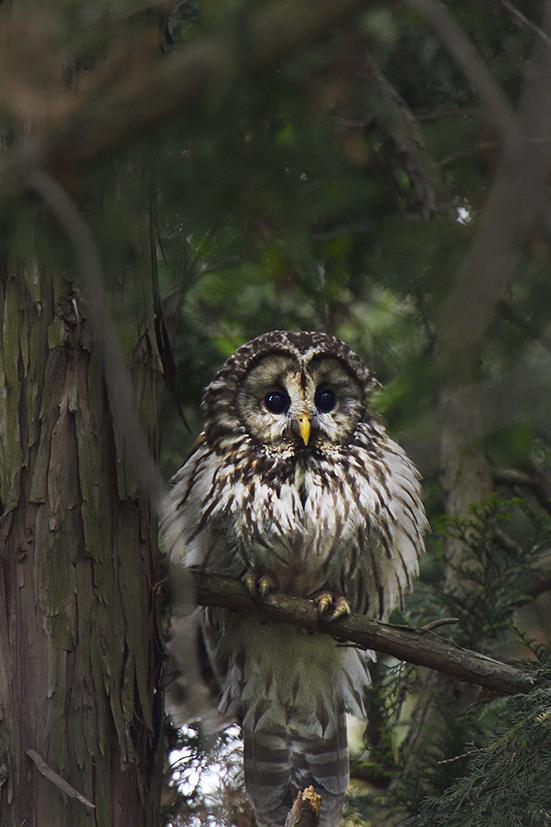 _DSC2475_owl