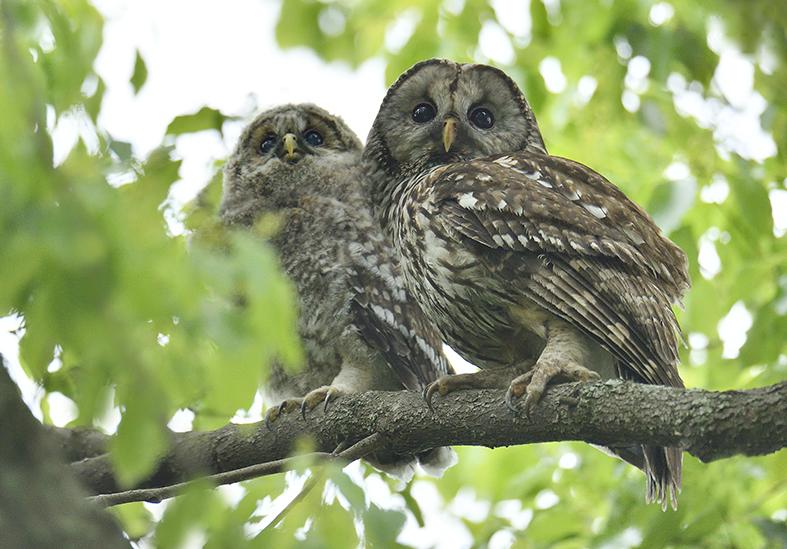 DSC3883_owl_family