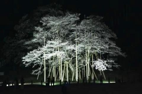 淡墨桜(夜桜 ライトアップ)2