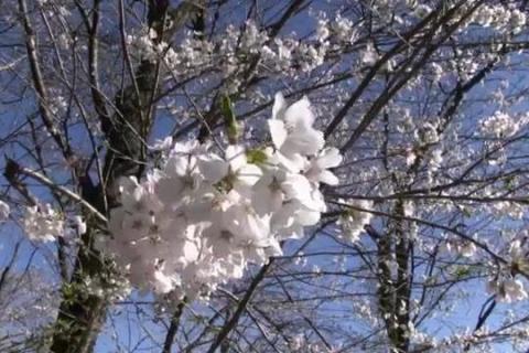 日本三大桜 根尾谷淡墨桜11