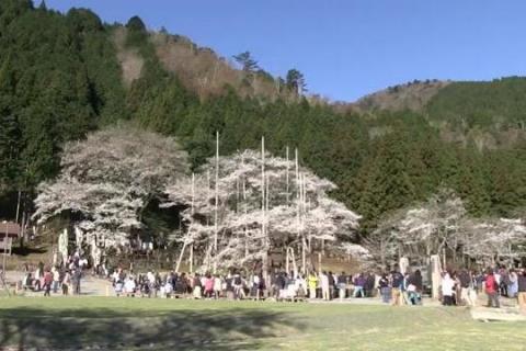 日本三大桜 根尾谷淡墨桜