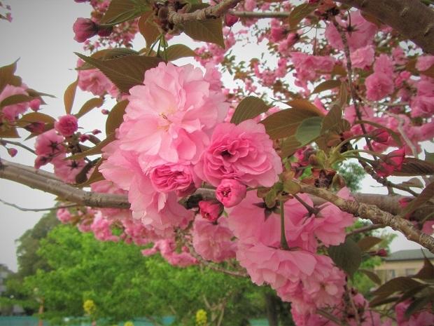19.4.19 癒しの春散歩 (64)
