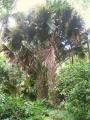 800px-Corypha_umbraculifera_in_Lyon_Arboretum[1]