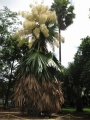800px-Flowering_Talipot_Palm_06[1]