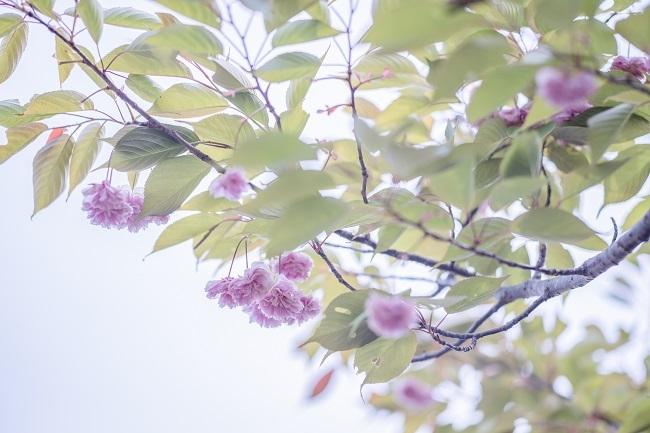 DSC01732八重桜