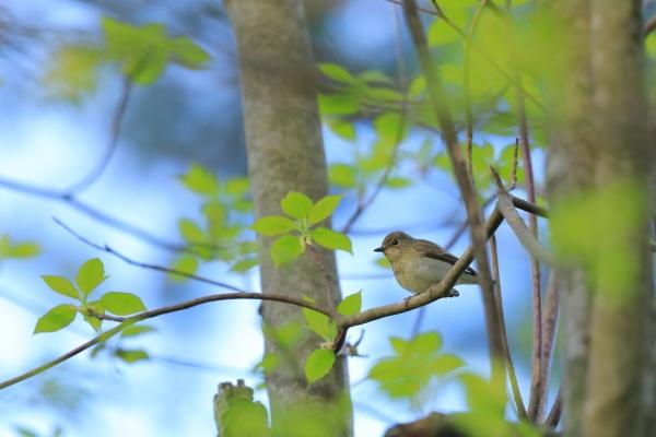 キビタキ雌_塩嶺小鳥の森