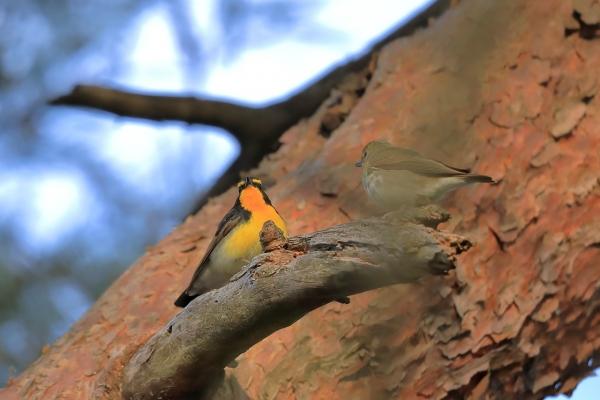 キビタキ雄・雌_塩嶺小鳥の森