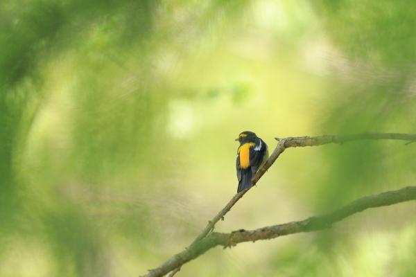 キビタキ雄_塩嶺小鳥の森