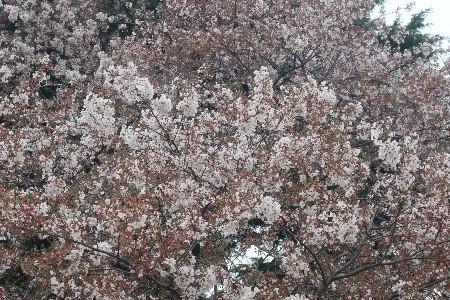 新宿御苑20190414-05