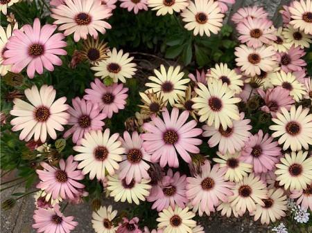 春の花20190429-06