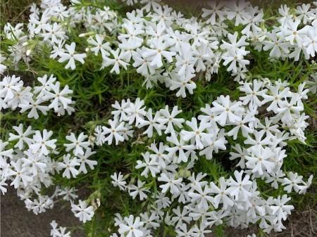 春の花20190429-04