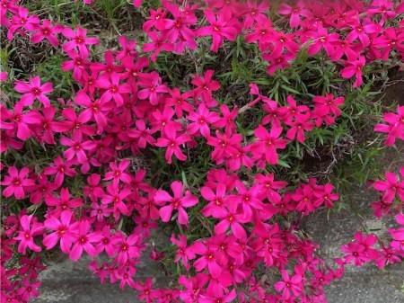 春の花20190429-03