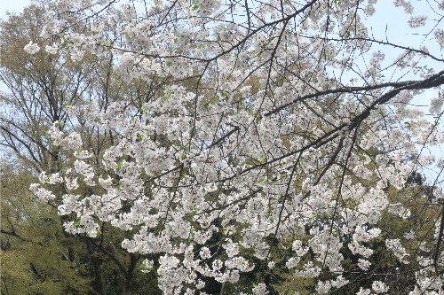 山形の桜20190501-12