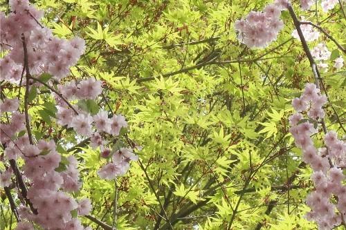 山形の桜20190501-11