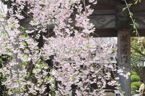 山形の桜20190501-10