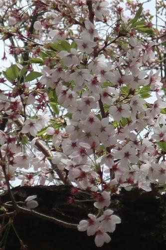 山形の桜20190501-09