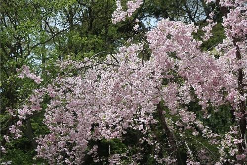 山形の桜20190501-08