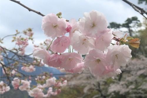 山形の桜20190501-06
