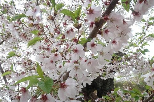 山形の桜20190501-05