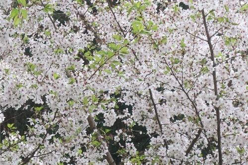 山形の桜20190501-03