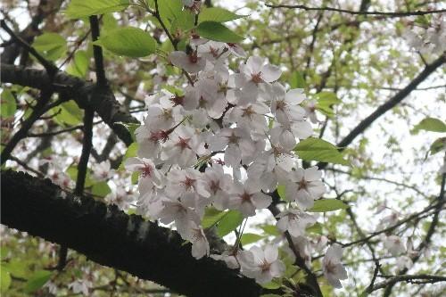 山形の桜20190501-02