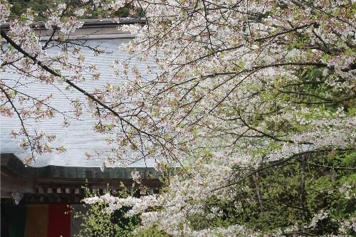 山形の桜20190501-01