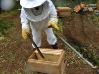 王蜂がいることを祈りつつ板のミツバチを一気に払って巣箱へ!(20190424)